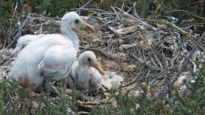 Los nidos de los espátulas se ubican en lugares inaccesibles