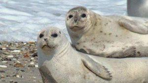 Dos ejemplares de foca común en Alemania. Werner Witte.