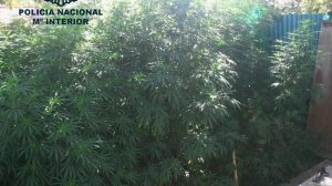 plantacion-marihuana-policia-nacional-alcala-090811