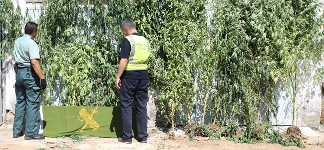 guardia-civil-plantacion-marihuana-sanlucar-la-mayor-250911