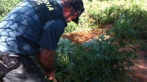 plantacion-marihuana-coria-290812