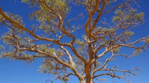 acacia-borfthedorg-flickr