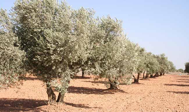 olivar