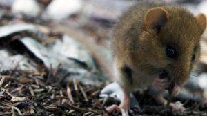 Patentan-un-nuevo-modelo-de-roedor-que-reproduce-los-sintomas-de-la-fibromialgia image 380