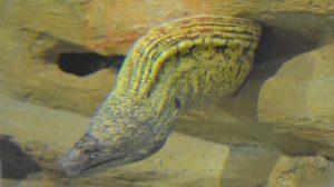 morera-comun-acuario