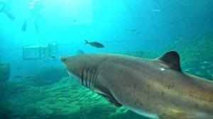 tiburon-toro-acuario