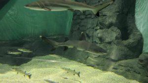 tiburones-puntas-negras-blancas-acuario