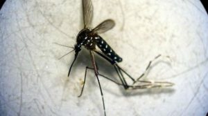 mosquito-tigre-AtrapaelTigre.com
