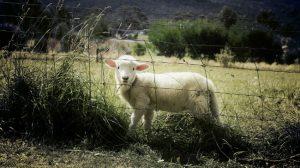 ternero-oveja