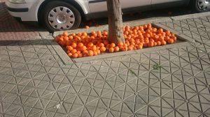 Naranajas-sin-recoger-3