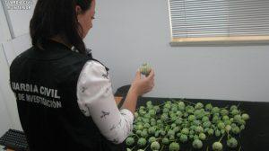 plantas-opio