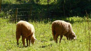 ovejas campo