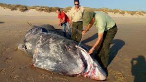 Tiburón peregrino (Cetorhinus maximus) aparecido en la playa de Doñana /@MedioAmbAND