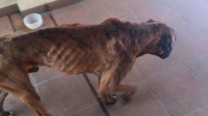 Estado del perro cuando se lo encontró la Policía /@PoliciaLocalcc