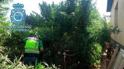 Plantación de Marihuana encontrada en Dos Hermanas /Policía Nacional